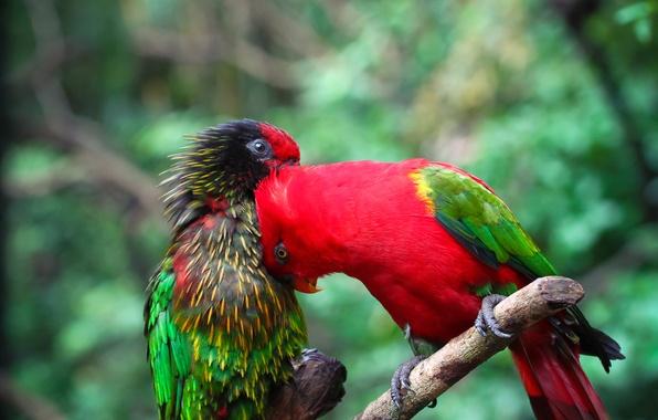 Picture bird, paint, color, branch, feathers, parrot, pair
