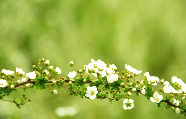 Picture greens, branches, green, tree, branch, Wallpaper, focus, branch, flowers, branch, flowering, widescreen Wallpaper, flowers, the …