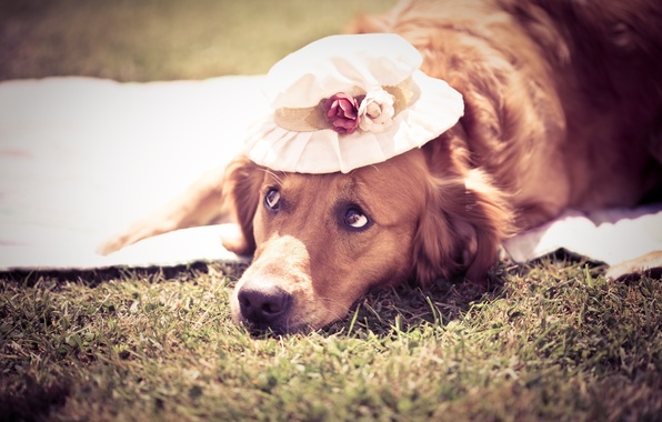 Picture summer, dog, hat, Dog, cute