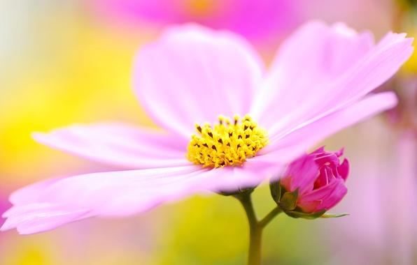 Picture flower, macro, lilac, pink, pollen, petals, blur, kosmeya