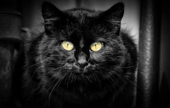Picture cat, cat, look, black, portrait
