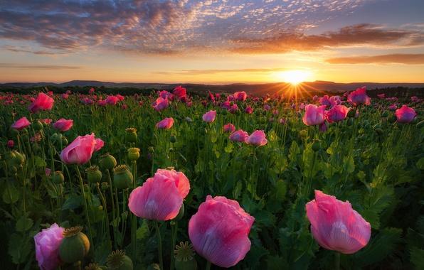 Picture field, flowers, sunrise, dawn, Maki, Germany