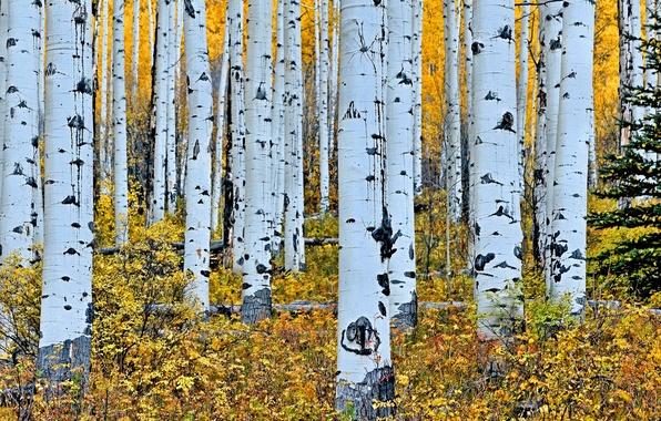 Wallpaper Autumn Forest Trees Trunk Birch Grove