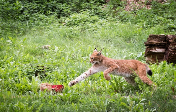 Picture greens, thickets, jump, paw, predator, meat, lynx, wild cat
