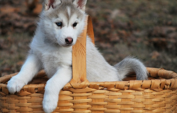 Picture basket, dog, puppy, husky