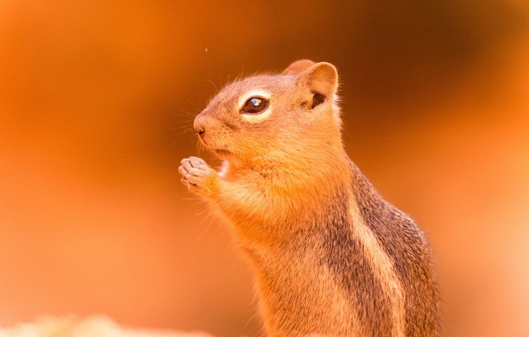 Picture background, Chipmunk, animal, rodent