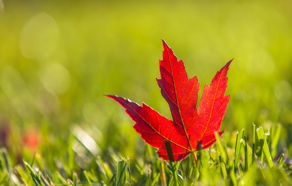 Picture autumn, grass, red, sheet, maple, Burgundy