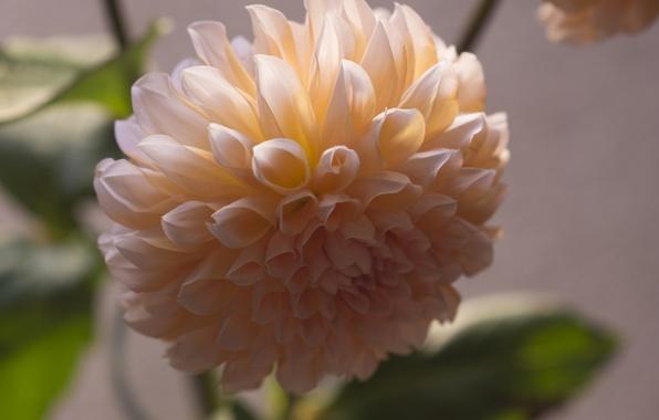Picture macro, orange, petals, Bud, flowering, Dahlia