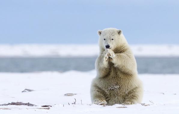 Picture bear, Alaska, Alaska, polar bear, polar bear
