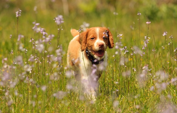 Picture flowers, dog, meadow, puppy, walk, pointing dog, Epagnol Breton, The Brittany