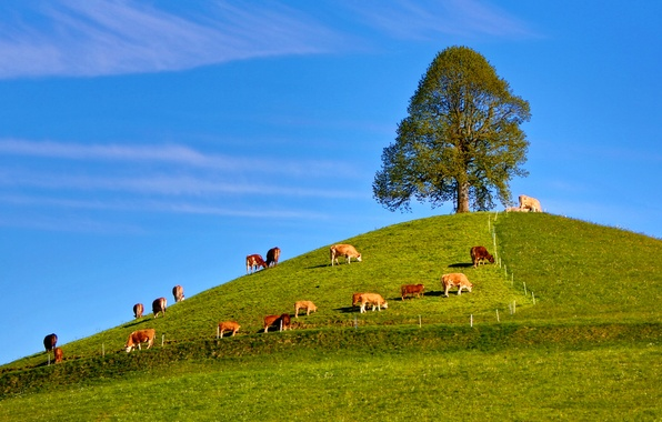 Picture the sky, grass, tree, cows, hill, the herd