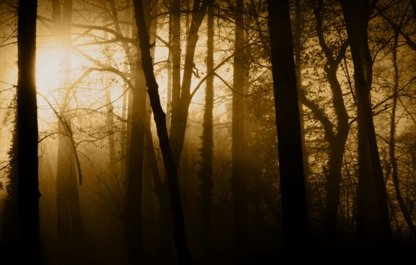 Picture forest, rays, light, trees, nature, fog, trunks