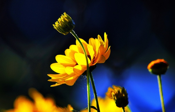 Picture flowers, blue, background, yellow, buds