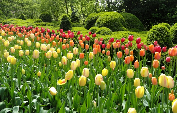 Picture greens, trees, flowers, Park, garden, tulips, colorful, beds