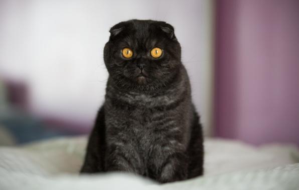 Picture cat, look, face, Koshak, Tomcat