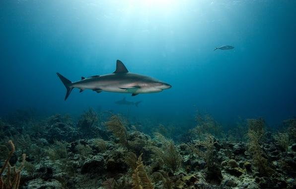 Picture sea, predators, the bottom, corals, sharks