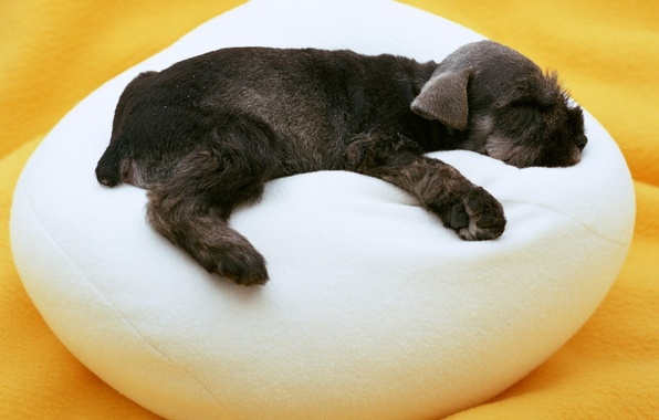 Picture white, dog, sleeping, puppy, black, Ottoman