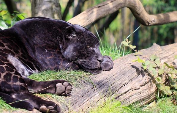 Picture face, stay, predator, paws, Panther, spot, lies, profile, wild cat, zoo, black Jaguar