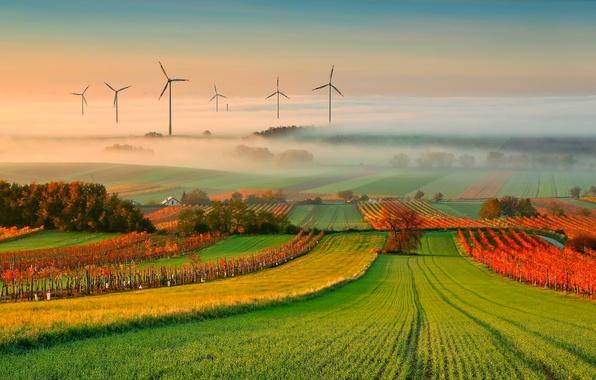 Picture autumn, fog, vineyard