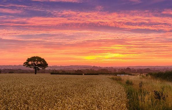 Picture field, tree, dawn, morning, wheat