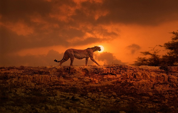 Wallpaper The Sun Cheetah Africa Walk Big Cat Kenya
