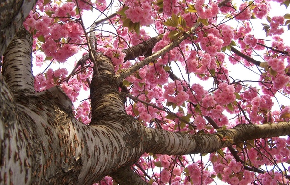 Picture branches, tree, spring, trunk, blooms