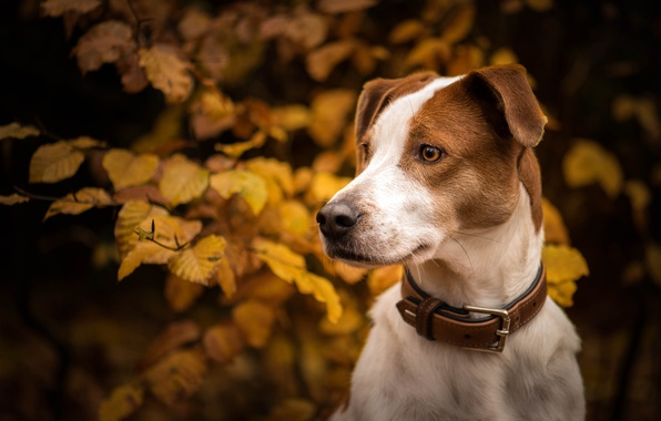 Picture autumn, look, face, leaves, branches, portrait, dog, collar