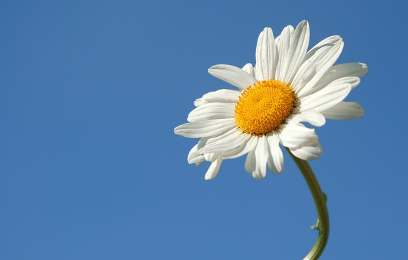 Picture flower, summer, the sky, Daisy