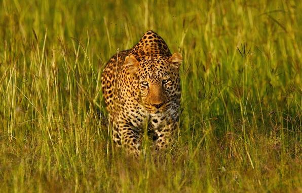 Picture grass, face, light, predator, leopard, Africa, disguise, wild cat