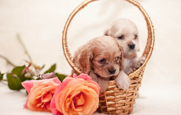 Picture flowers, roses, puppies, basket, flowers, dogs, dogs, roses, basket, puppies