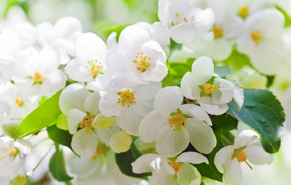 Picture leaves, flowers, cherry, tree, branch, spring, petals, white, flowering