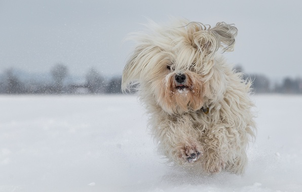 Picture winter, snow, dog, running, The Havanese, shaggy