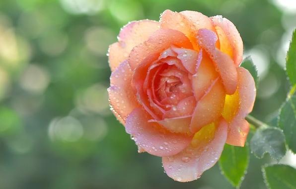 Picture drops, macro, Rosa, rose, petals, Bud