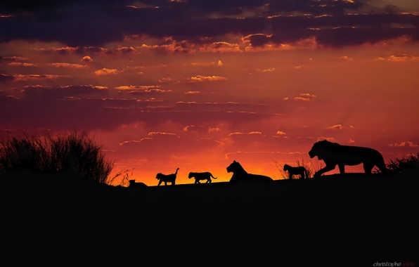 Picture the sky, sunset, the evening, Africa, lions, the cubs, silhouettes, pride, Kalahari, family pack of …