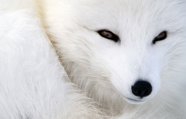 Picture animals, eyes, look, wool, nose, muzzle, Fox, fur, Fox, animal, polar Fox