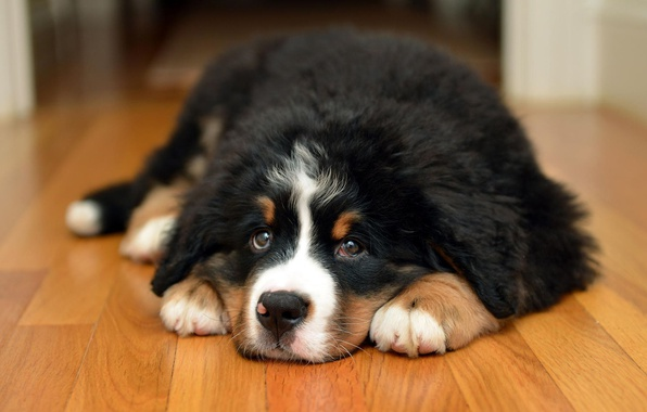 Picture look, face, room, dog, floor, puppy, lies, Bernese mountain dog