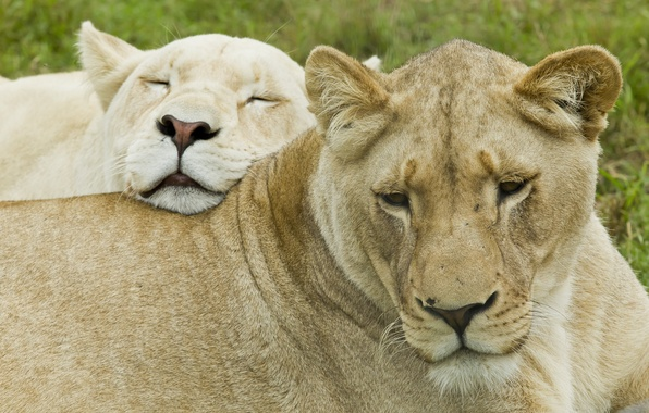 Picture face, cats, stay, pair, lioness