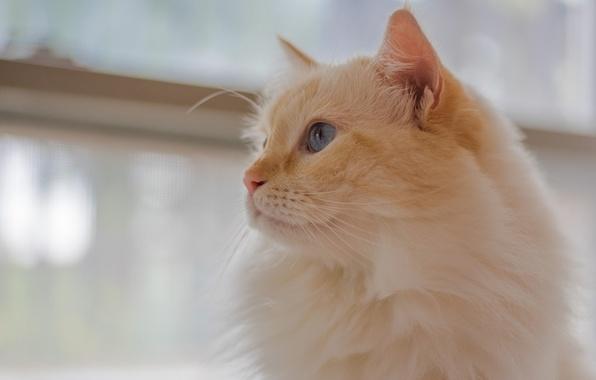 Picture cat, look, portrait, muzzle, fluffy