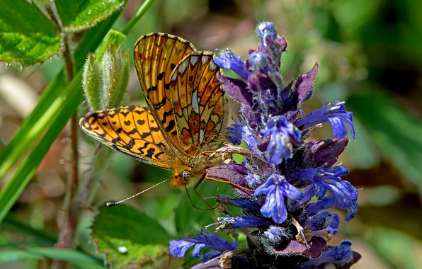 Picture flower, macro, butterfly, Fritillary of evfrosina