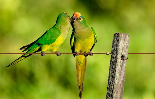 Picture wire, kiss, the fence, parrots