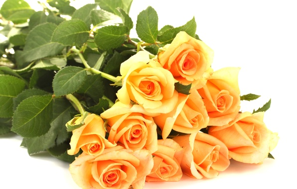 Picture leaves, flowers, roses, bouquet, petals, white background, orange