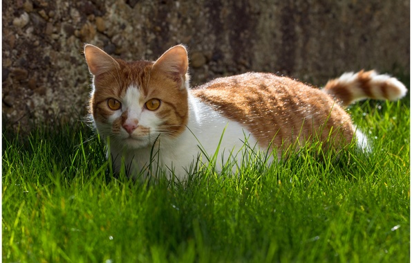 Picture cat, grass, cat, background, animal, widescreen, Wallpaper, wallpaper, grass, widescreen, cat, background, animal, full screen, …