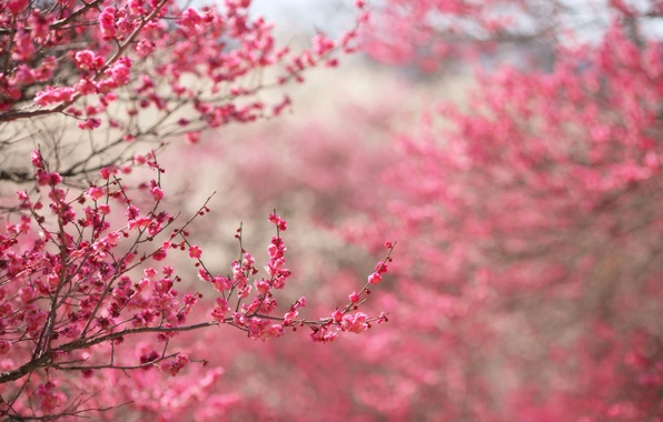 Picture flowers, branches, nature, background, pink, focus, spring, Sakura, flowering, twigs