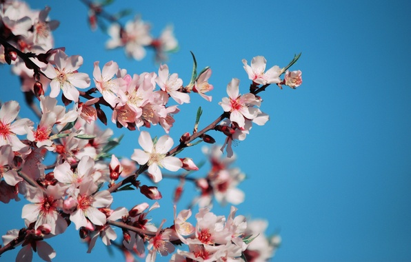 Picture the sky, flowers, cherry, branch, blue, spring, petals, Sakura, pink, flowering
