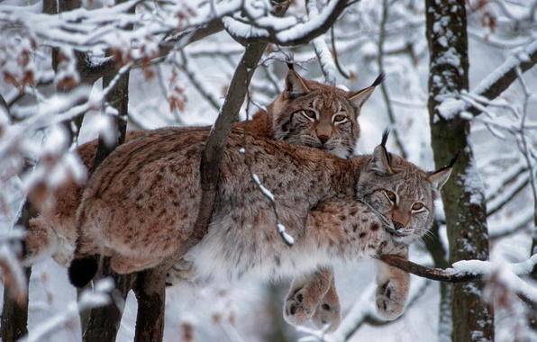 Picture winter, cat, snow, trees, branches, Germany, Eurasian lynx, National Park Bavarian forest, lynx vulgaris