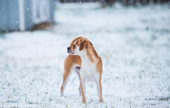 Picture winter, background, dog