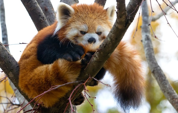 Picture tree, branch, red Panda, firefox, red Panda