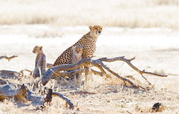 Picture grass, stay, log, wild cats, cubs, cheetahs