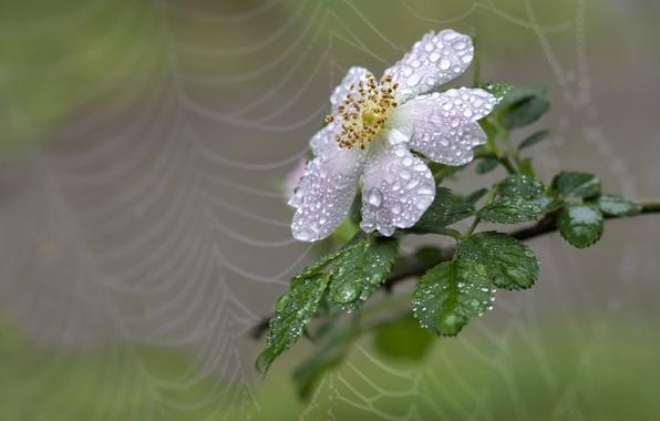 Picture drops, macro, background, web, branch, briar, bokeh