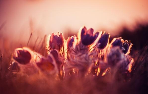 Picture sunset, flowers, spring, primroses, sleep-grass